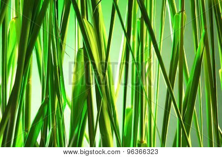 Green reeds background