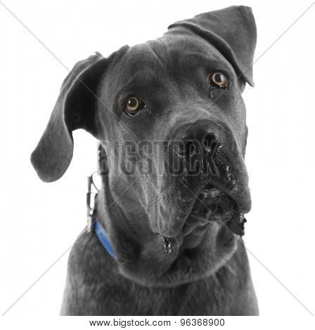Cane corso italiano dog, isolated on white