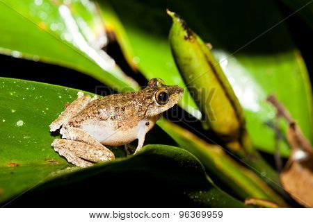 Small frog at big leaf in rainforest