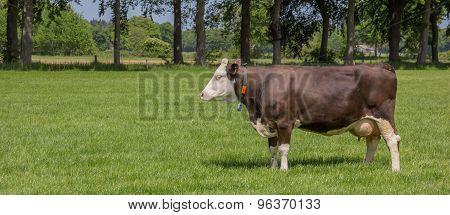 Brown Swiss Cow In A Dutch Landscape