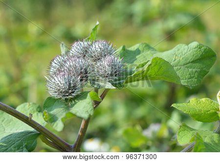 Flowers of Great Burdock (Arctium lappa)