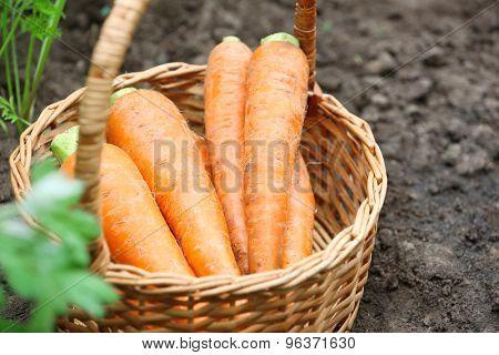 Wicker basket of new fresh carrots in garden