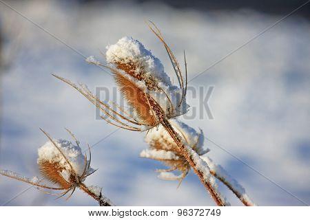 Snow on a Teasel