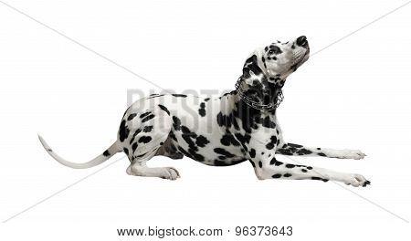 Dalmatian Dog Lying