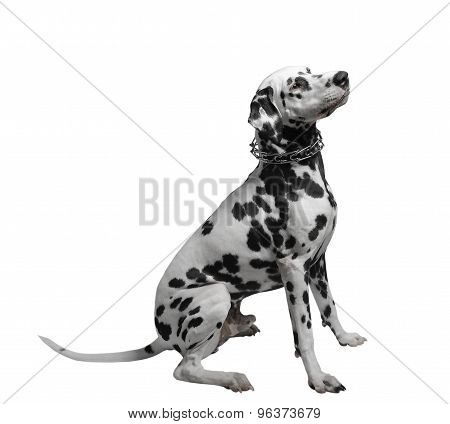 Dalmatian dog sitting isolate