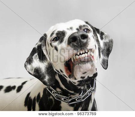 angry dog dalmatian grins