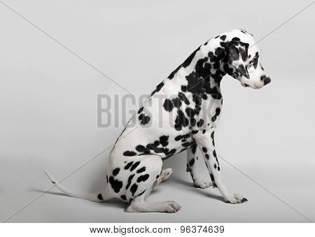 Dalmatian admitted his guilt