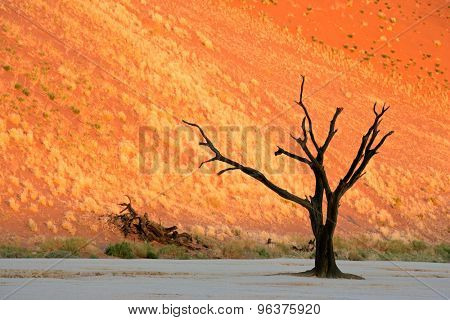 Dead Acacia tree against a red sand dune in late afternoon light, Sossusvlei, Namibia