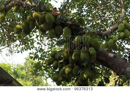 Cluster Of Breadfruits On The Tree