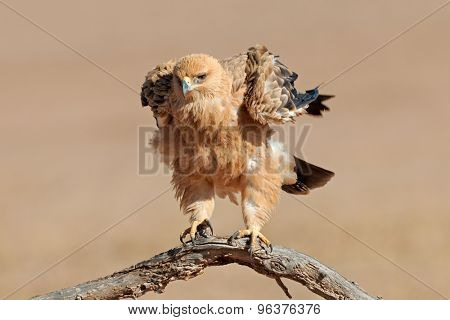 A tawny eagle (Aquila rapax) perched on a branch, Kalahari desert, South Africa