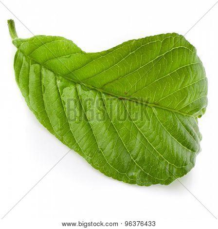guava tree leaf close up macro shot isolated on white background