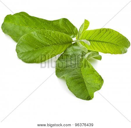 guava tree leaves close up macro shot isolated on white background