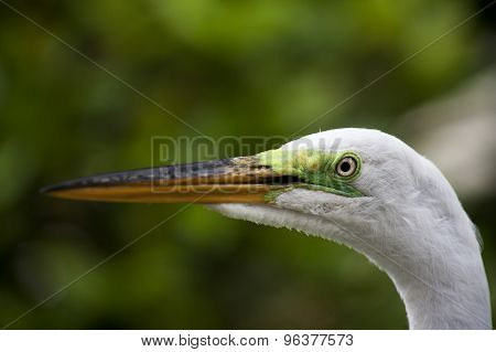 Close-up horizontal portrait of white egret on a background of green grass. White Crane