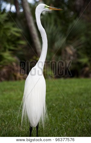 White egret on a background of green grass.