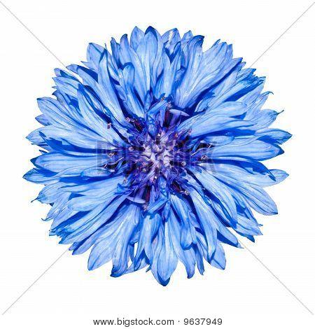 Blue Cornflower Flower Head - Centaurea Cyanus Isolated On White