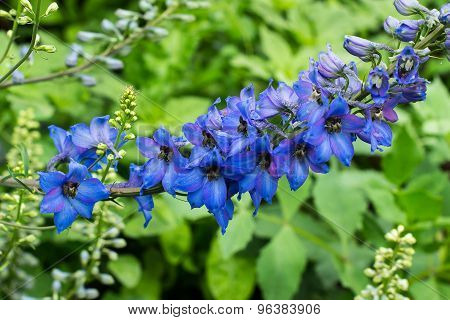 Bright Blue Delphinium Bloom In The Garden