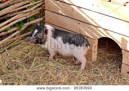 Small Funny Spotted Piglet