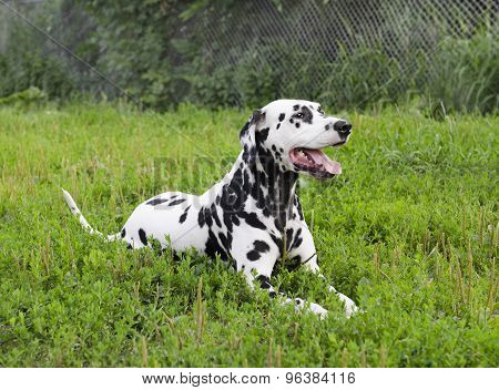 Dalmatian Dog Lying On Green Grass
