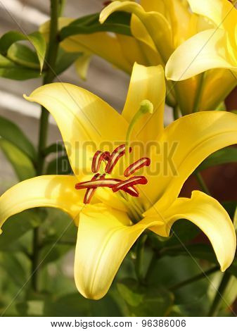 Yellow Lilies In Flowerbed Close-up