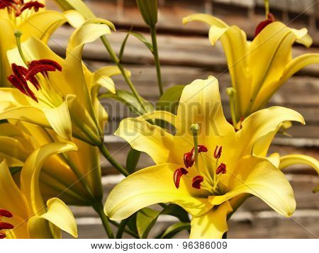 Yellow Lilies Against Wooden Wall