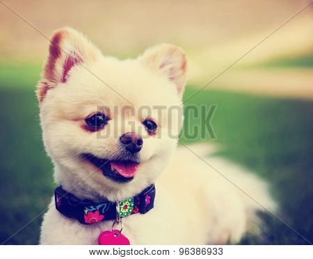 a cute pomeranian puppy dog that has been groomed smiling in a park setting with a pretty collar and tag on toned with a retro vintage instagram filter effect app or action