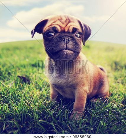 a cute baby pug chihuahua mix - chug at a local park or a backyard - wide angle lens (SHALLOW DOF - on the nose) toned with a retro vintage instagram filter app or action