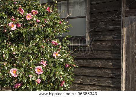 Pink camellia sasanqua
