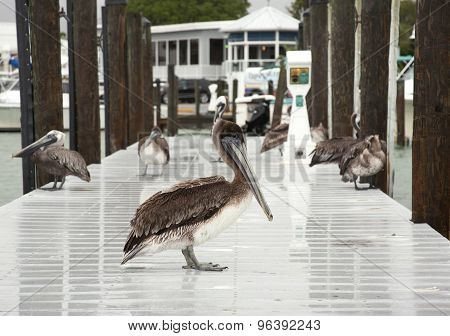 Brown pelicans . Florida, Venice, Sarasota, South Jetty, Gulf of Mexico