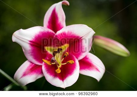 Beautiful Pink And White Lily Flowers