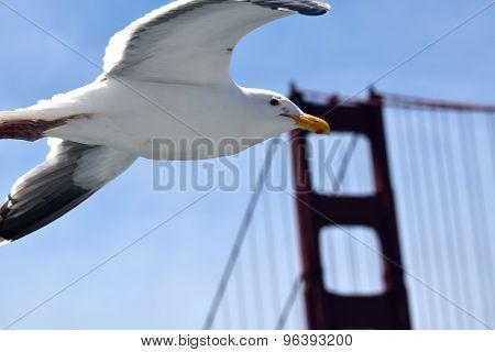 Seagull Flies Near The Gold Gate Bridge