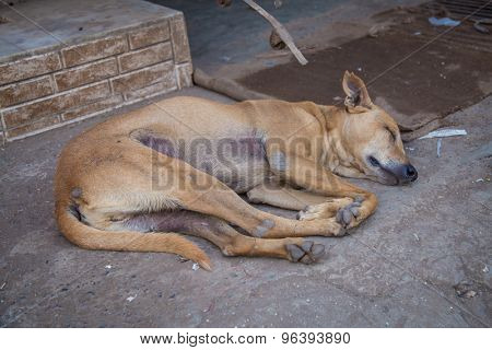 MUMBAI, INDIA - 16 JANUARY 2015: Female dog sleeps on ground of sidewalk. Stray dogs are numerous on India's streets.