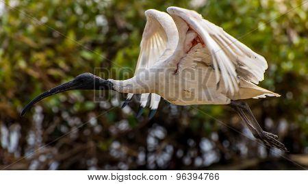 White Ibis Flying Over Mangrove Trees
