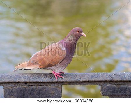 Brown Dove Closeup