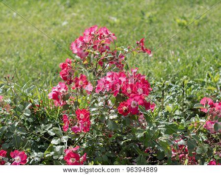 Flowering Wild Rose