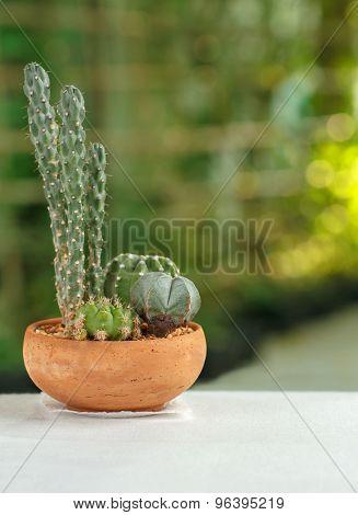 Cactus In A Clay Pot