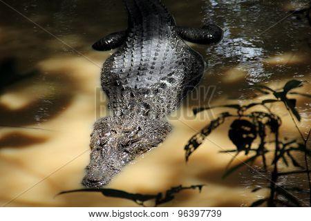 Crocodile, Sarawak,borneo
