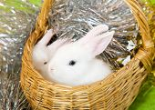 image of tawdry  - Two white rabbits in basket against spangle on green - JPG