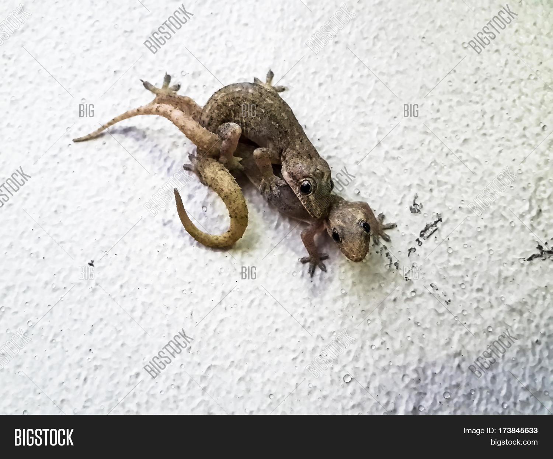 mating lizards. tropical flat-tailed house geckos hemidactylus