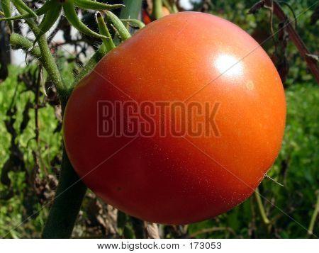 Tomato In The Garden