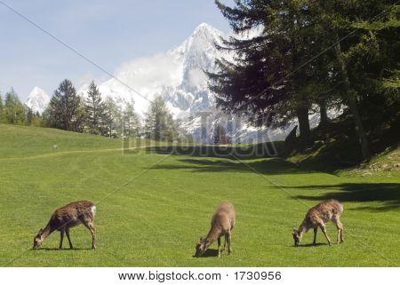 Deer In Front Of Mont Blanc