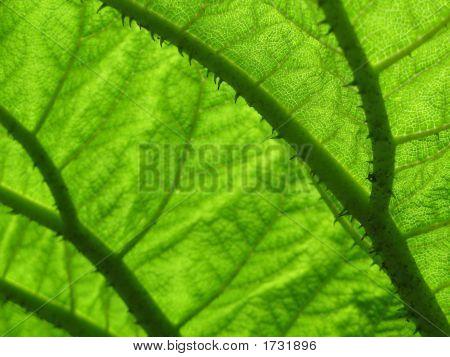 Gunnera Leaf Underside