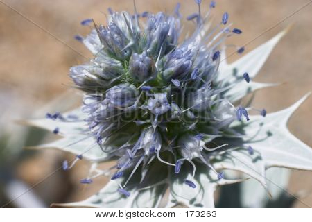 Sea Holly In Flower