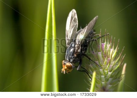 Big Black Fly