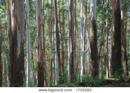 Eucalyptus Trees, India