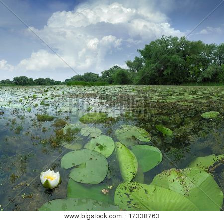 Water-lily in pond