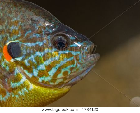 Portrait Of A Vermont Pumpkinseed Sunfish