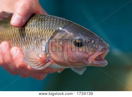 Vermont Fallfish
