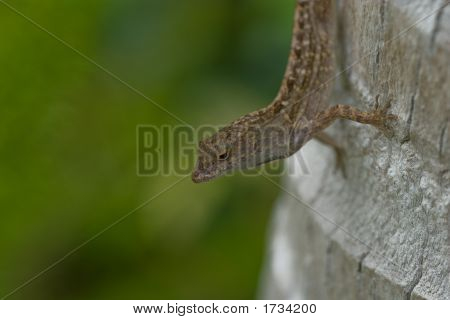 South Florida Brown Anole