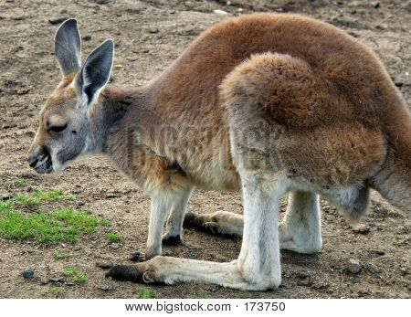 Animal Kangaroo