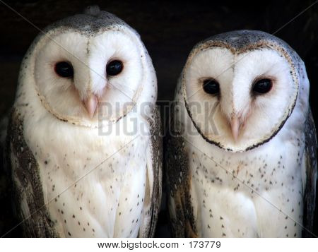 Animal  Barn Owl